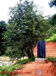 800 year old tea tree